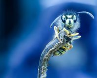 Macro photo with wasp. Photo macro photografy wasp Macro photo with a wasp caught by a tree branch Stock Photography