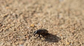 Macro photo of a weevil beetle on the concrete outside. Macro photo of a black weevil beetle on the concrete outside royalty free stock photo