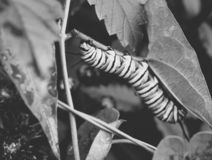 Macro photo of a wet monarch caterpillars outside on a brown stem of a plant. Close up of monarch caterpillar outside on a a wet plant in a flowerbed. Simple royalty free stock images