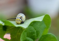Macro photo of a wet monarch caterpillars outside on a brown stem of a plant. Close up of monarch caterpillar outside on a a wet plant in a flowerbed. Bright and stock images