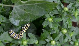 Macro photo of a wet monarch caterpillars outside on a brown stem of a plant. Close up of monarch caterpillar outside on a a wet plant in a flowerbed royalty free stock image