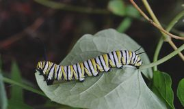 Macro photo of a wet monarch caterpillars outside on a plant. Close up of monarch caterpillar outside on a plant in a flowerbed. Simple, colorful nature photo royalty free stock photography