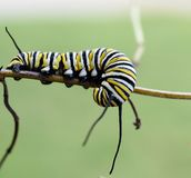 Macro photo of a wet monarch caterpillars outside on a plant. Close up of monarch caterpillar outside on a plant in a flowerbed. Bright, simple and colorful stock image