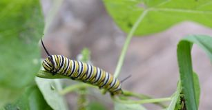 Macro photo of a wet monarch caterpillars outside on a stem of a plant. Close up of monarch caterpillar outside on a stem of a plant in a flowerbed. Bright and stock photography