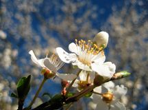 Macro photo of white flowers on a beautiful blossoming branch of a fruit tree in spring sunlight Royalty Free Stock Photo