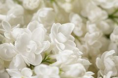 Macro photo of white lilac flowers Stock Photos