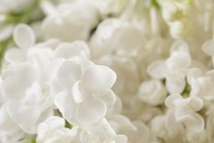 Macro photo of white lilac flowers Stock Image