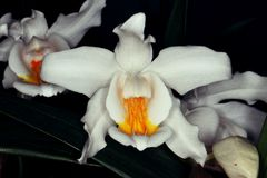 Macro photo of white orchid Royalty Free Stock Image