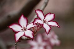 Macro Photo of White and Pink Flowers Royalty Free Stock Images