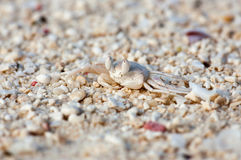 Macro photo of a white tropical crab on the beach Stock Photography