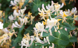 Macro photo of white and yellow flowers royalty free stock photo