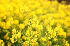 Macro photo of wildflowers. Bright yellow flowers in the morning close up. Natural summer floral background. Beautiful yellow flow royalty free stock images