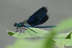 Blue dragonfly on a green leaf. royalty free stock photography