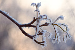 Macro photo. Winter forest, more yellow leaves and branches of trees covered with frost crystals. Stock Photography