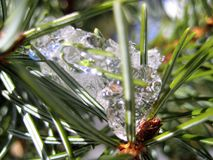 Macro photo with a winter texture background snow icicles on the spruce needles of the natural tree branches Royalty Free Stock Photo