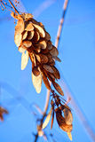Macro photo. Winter, yellowed leaves and shrunken berries fisyat alone on the bare branches of trees on a clear blue sky. Royalty Free Stock Photo