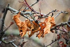 Macro photo. Winter, yellowed leaves and shrunken berries fisyat alone on the bare branches of trees on a clear blue sky. Royalty Free Stock Image