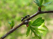 Macro Photo With A Decorative Background Of An Insect Ant In Green Leaves On A Tree Branch For Design Stock Image