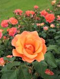 Macro Photo With A Decorative Background Of Beautiful Bright Orange Flowers Plants Shrub Varietal Roses For Landscaping Stock Images