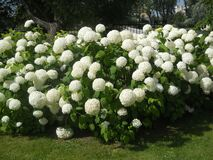 Macro Photo With A Decorative Background Of Beautiful Flowering Shrubs With White Flower Caps Hydrangea Plants Stock Photo