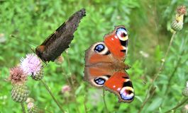 Macro Photo With Decorative Background Of Motley Butterflies On Wild Wild Wild Wild Flowers Of Herbaceous Forest Plant Royalty Free Stock Images