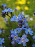 Macro Photo With Decorative Beautiful Background Of Wild Forest Grassy Flowers Forget-me-not Plants Or Myosotis Family Boraginacea Royalty Free Stock Photos