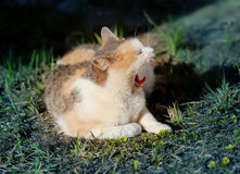 Macro photo of a yawning cat. On the grass Stock Photos