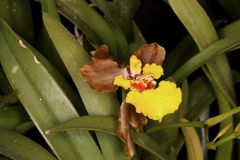 Macro photo of yellow and brown orchid Royalty Free Stock Photo