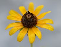 Close up photo of a yellow and brown wildflower against a cloudy gray sky Royalty Free Stock Photography