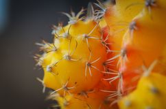 Macro photo of yellow cactus stock photography