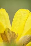 Macro photo of yellow daffodil Stock Images