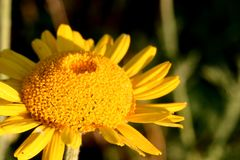 Macro photo of a yellow daisy flower. royalty free stock images