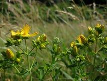 Macro photo of yellow flowering medicinal wild plants of the Hypericum Stock Photo