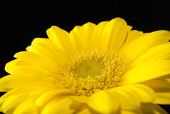 Macro photo of yellow gerbera flower Stock Photography