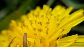 Macro photo of young dandelion Stock Photo