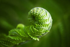 Macro photo of young fern sprout Royalty Free Stock Images