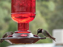 Macro Photograph of Annas Hummingbirds Stock Photography
