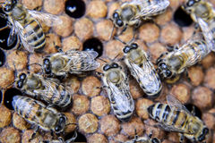 Macro photograph of bees. Dance of the honey bee. Bees in a bee hive on honeycombs. Honey bees on the home apiary. The technology breeding of honey bees stock images