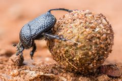 Dung beethle rolling its dung ball macro photograph stock photo