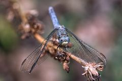 Blue dragonfly on a dried branch stock photo