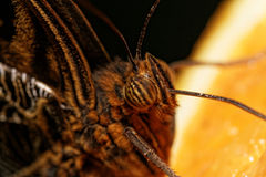 Macro photograph of a butterfly Stock Photos