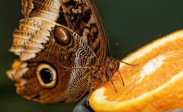 Macro photograph of a butterfly Royalty Free Stock Photography