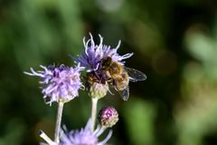 Honeybee pollinating a purple flower royalty free stock image