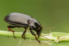 Free Macro Photograph Of A Beetle Sitting On A Grass Stalk. The Beetle Is Eating The Grass. Stock Photos - 122145873