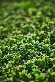 A macro photograph of a plant with small shiny leaves is similar to a legendary fantasy forest. Colorful juicy greens, perfect for. The background. Soft photo stock photos