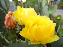 Macro Photograph of Prickly Pear Cactus Blossom Royalty Free Stock Image
