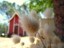 Macro Photograph of Rabbit Tails Grass Barn Stock Photo