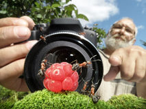 Macro photographer managing  ants Stock Photo