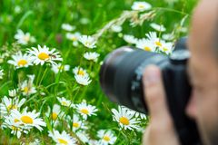 Macro photographer photographing a bee sucking nec. Macro photographer photographing bee sucking nectar from daisy flower in spring meadow Royalty Free Stock Photos