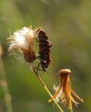 Macro photographie d'insecte Photographie stock